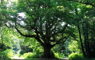 Chêne de Bramofan